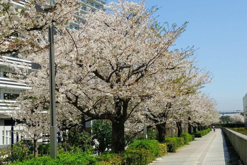 都内は桜の花が見ごろです@日本事務所